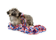 Shih Tzu and Fourth of July deocations Royalty Free Stock Image
