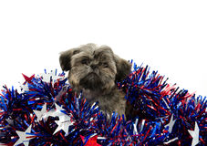 Shih Tzu and Fourth of July deocations Royalty Free Stock Photo