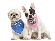 Shih Tzu and French Bulldog puppy wearing bandana sitting togeth Stock Photo