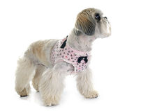 Shih Tzu. In front of white background Royalty Free Stock Image