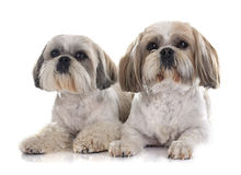 Shih Tzu. In front of white background Royalty Free Stock Photo