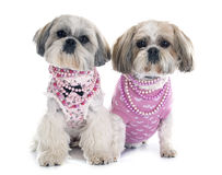 Shih Tzu. In front of white background Stock Photo