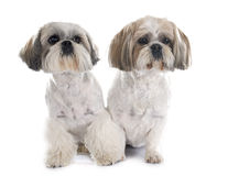 Shih Tzu. In front of white background Stock Photos