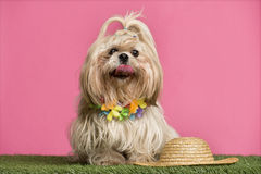 Shih tzu going on holidays Royalty Free Stock Images