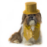 Shih Tzu in a Gold Fancy Costume Stock Image