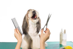 Shih-tzu at the groomer's hands with comb and  scissors Stock Image