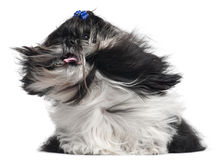 Shih Tzu with hair in the wind, 4 years old Stock Images