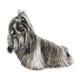 Shih Tzu hand drawn Stock Photography