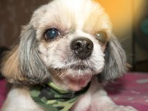 Dog shi tzu. Shih Tzu Stock Photo