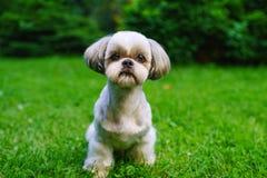 Shih Tzu Hund lizenzfreie stockbilder
