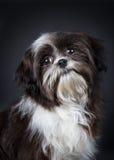 Shih-tzu Hund Stockfoto