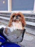 Shih-tzu Hund Lizenzfreie Stockfotos