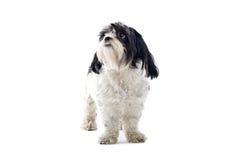 Shih-tzu Hund Lizenzfreie Stockbilder