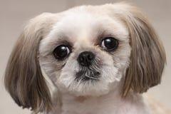 Shih Tzu Hund Stockbild