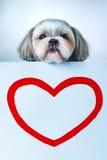 Shih Tzu Hund Stockfotografie