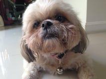 Shih Tzu Hund stockfoto