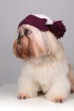 Shih Tzu-Hund in einem strickenden Hut mit Pompoms Lizenzfreie Stockfotos