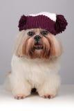 Shih Tzu-Hund in einem strickenden Hut mit Pompoms Stockfotos