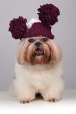 Shih Tzu-Hund in einem strickenden Hut mit Pompoms Stockfotografie