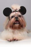 Shih Tzu hund i mickeymusöron Fotografering för Bildbyråer