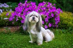 Shih Tzu hund i trädgård royaltyfri fotografi