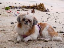 Shih Tzu-Hundeporträt im Freien am Strand lizenzfreie stockbilder