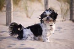 Shih Tzu im Sand lizenzfreie stockfotografie