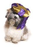 Shih tzu jest ubranym krasnoludka kapelusz Obraz Royalty Free
