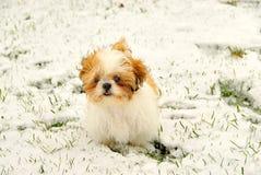 Shih Tzu jouant dans la neige Images stock