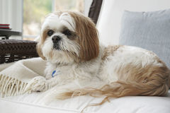 Shih tzu - lap dog on the furniture. A regal looking Shih tzu sits comfortably in an armchair royalty free stock photos