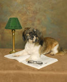 Shih Tzu Librarian Royalty Free Stock Photos