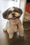 Shih tzu. A lovely shih tzu is smiling Royalty Free Stock Photos