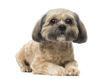 Shih Tzu lying down, looking at the camera, 1 year old royalty free stock photo