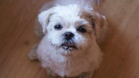 Shih Tzu + Maltese 2 éénjarigen Stock Foto's