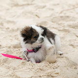 Shih Tzu Maltese Puppy. Cute Shih Tzu Maltese Puppy playing in sand royalty free stock image
