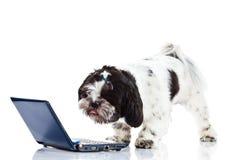 Shih tzu med datoren som isoleras på den vita hunden för bakgrundshundinternet royaltyfria bilder