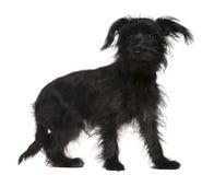 Shih-Tzu misturou com um terrier de Yorkshire Fotos de Stock Royalty Free
