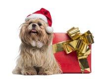 Shih-tzu mit dem Weihnachtshut, sitzend nahe bei einem Präsentkarton Lizenzfreie Stockfotografie