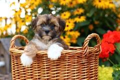 Shih Tzu Mix puppy sitting in wicker basket stock image