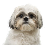 Shih Tzu (18 months old) Royalty Free Stock Photography