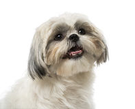 Shih Tzu (18 months old) Stock Photos
