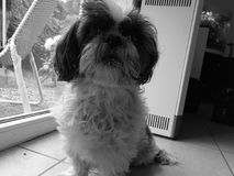 Shih-tzu noir et blanc Image libre de droits