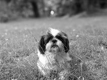 Shih-tzu noir et blanc Photo libre de droits
