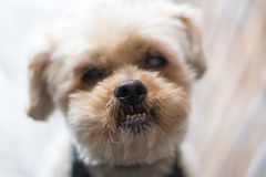 Shih Tzu nose. Photograph of a rescue shih Tzu dog's nose stock photos