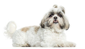 Shih Tzu panting, lying, isolated Stock Images