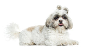 Shih Tzu panting, lying, isolated Royalty Free Stock Photo