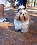 Shih Tzu in the park. Happy dog in the park & x28; Shih Tzu & x29 royalty free stock image