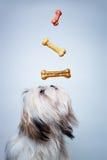 Shih tzu pies zdjęcia royalty free