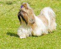 Shih Tzu pies Obrazy Stock