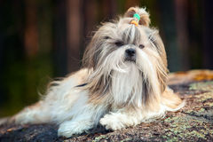 Shih-tzu pies Obrazy Stock